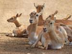 Gazelle - Gazelle