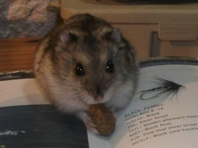 Hamster Peanut - Mâle (3 ans)