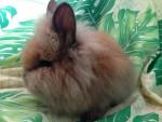 Lapin moyen Fluffy - Femelle (1 an)