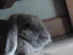 Lapin nain Lala - Femelle (1 an)