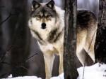 Loup cros-blanc - Femelle (8 mois)