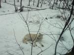 Loup Unknown - Femelle (0 mois)