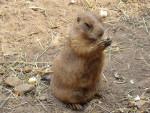 Marmotte chien de prairie - Femelle (0 mois)