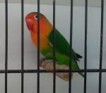Oiseau olive - Mâle (1 an)