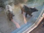 grods nounours - Ours Mâle (3 ans)