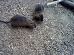 Ragondin 3. Das ist ein Verwandter des Meerschweinchens mit laaangen Zähnen! - Femelle (0 mois)