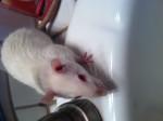 Rat Kevin - Femelle (4 ans)