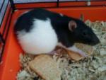 Rat delice - Femelle (9 mois)