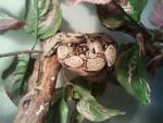 Serpent luna (boa constrictor) - Femelle (1 an)