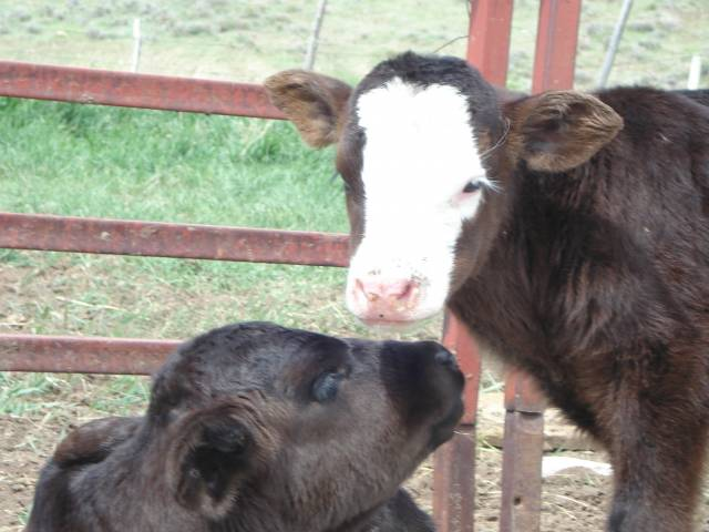 Vache dolly and dallas - Femelle (8 ans)