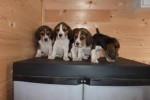 Chien Portée de mes beagles -  Mâle (5 mois)