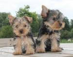 Chien Lily et Lola -  Femelle (3 mois)