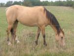 Cheval Laps mon ancien cheval -  Mâle (Vient de naître)