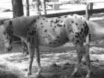 Poney sheeba -  Femelle (Vient de naître)