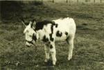 Âne Opale bébé -  Femelle (Vient de naître)