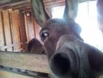 Âne Bo Donkey -  Mâle (13 ans)