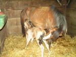 Cheval edwina et sa mère -  Femelle (Vient de naître)