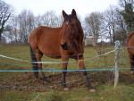 Cheval Apolon -  Mâle (2 ans)