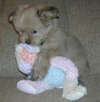 Cheval Bella -  Femelle (2 mois)
