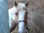 Poney Rasta -  Femelle (4 ans)