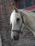 Poney Greyo -  Femelle (4 ans)