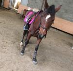 Cheval Gums Jumper -  Mâle (2 ans)