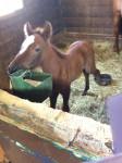 Poney Katie -  Femelle (8 mois)