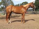 Cheval Cheyenne -  Femelle (3 ans)