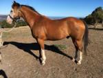 Cheval Cowboy -  Femelle (8 ans)
