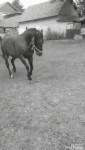 Cheval Star -  Femelle (4 ans)